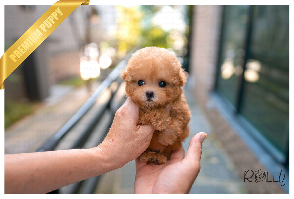 (PURCHASED by McGaughey) FELIX - Poodle. M - Rolly Teacup Puppies - Rolly Pups