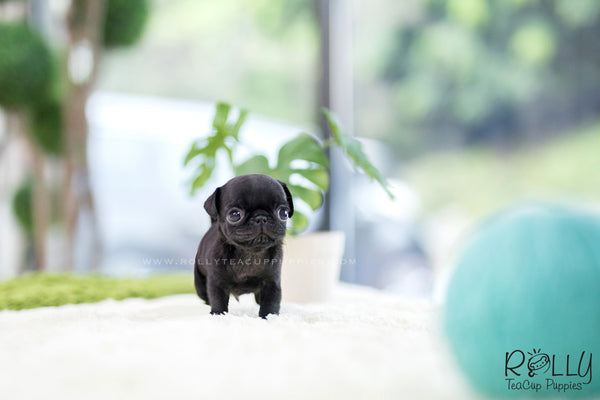 (SOLD to Kennedy) Felix - Pug. M