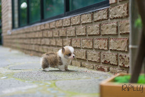 (Purchased by Moore) Fendi - Corgi. F - Rolly Teacup Puppies - Rolly Pups