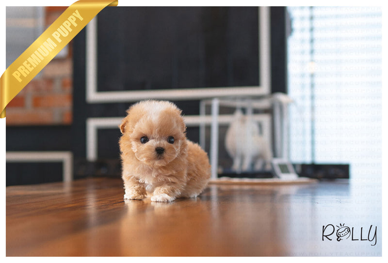 (PURCHASED  by B) FINNEGAN - Maltipoo. M - Rolly Teacup Puppies - Rolly Pups
