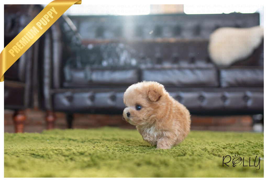 (PURCHASED  by B) FINNEGAN - Maltipoo. M - ROLLY PUPS INC