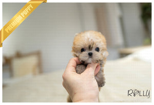 (RESERVED by Zachariah) FINN - Morkie. M - ROLLY PUPS INC