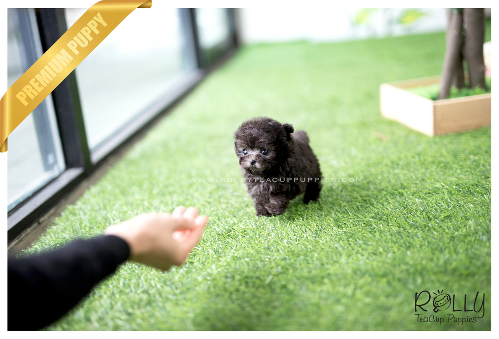 (SOLD to Backe)Fleur - Poodle. F - Rolly Teacup Puppies