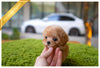 (Purchased by Orr) FLORA - Maltipoo. F - ROLLY PUPS INC