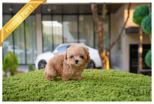 (RESERVED by Orr)FLORA - Maltipoo. F - Rolly Teacup Puppies