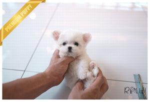 (Purchased by Mohamed) FLUFFY - Bichon Poo. F - Rolly Teacup Puppies - Rolly Pups