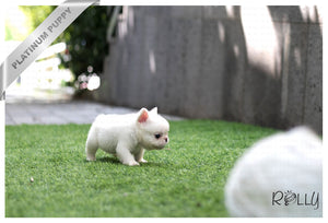 (Purchased by Quintanilla) Fluffy - French Bulldog. M - Rolly Teacup Puppies