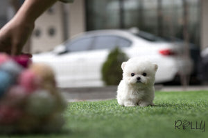 (SOLD to Jane) Flurry - Bichon. M - Rolly Teacup Puppies - Rolly Pups