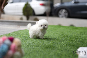 (SOLD to Jane) Flurry - Bichon. M - Rolly Teacup Puppies