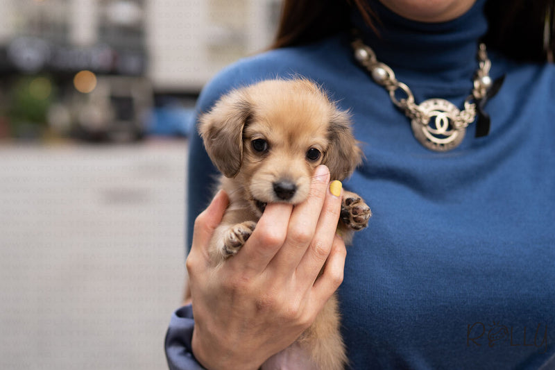 FRANKIE - Dachshund. M - Rolly Teacup Puppies - Rolly Pups