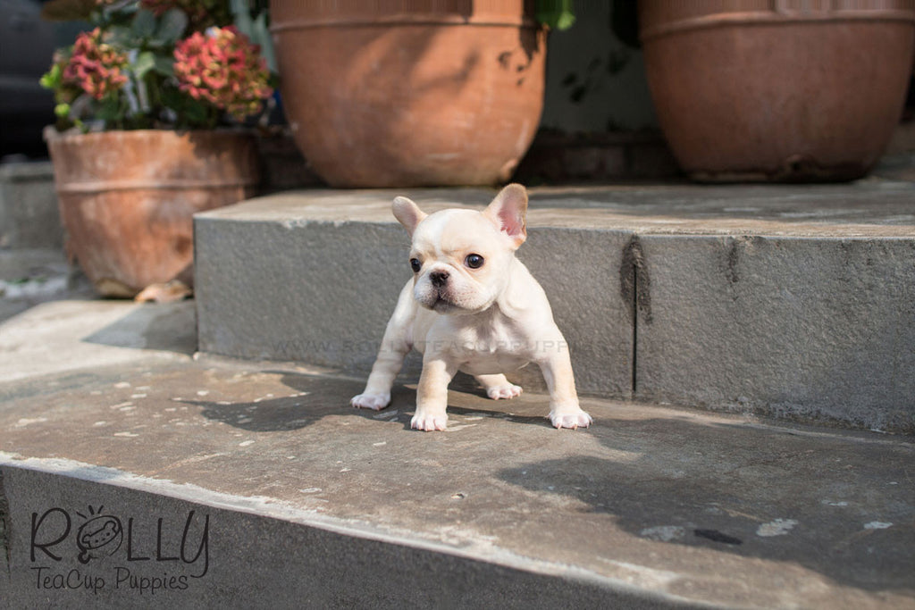 Chole - French Bulldog - Rolly Teacup Puppies - Rolly Pups