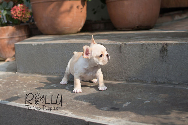 Chole - French Bulldog - Rolly Teacup Puppies