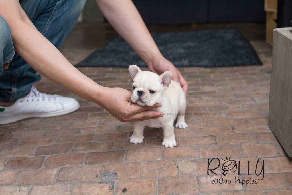 Duke - French Bulldog - Rolly Teacup Puppies - Rolly Pups
