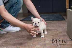 Duke - French Bulldog - Rolly Teacup Puppies