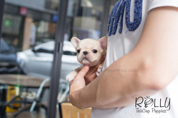 Molly - French Bulldog - Rolly Teacup Puppies