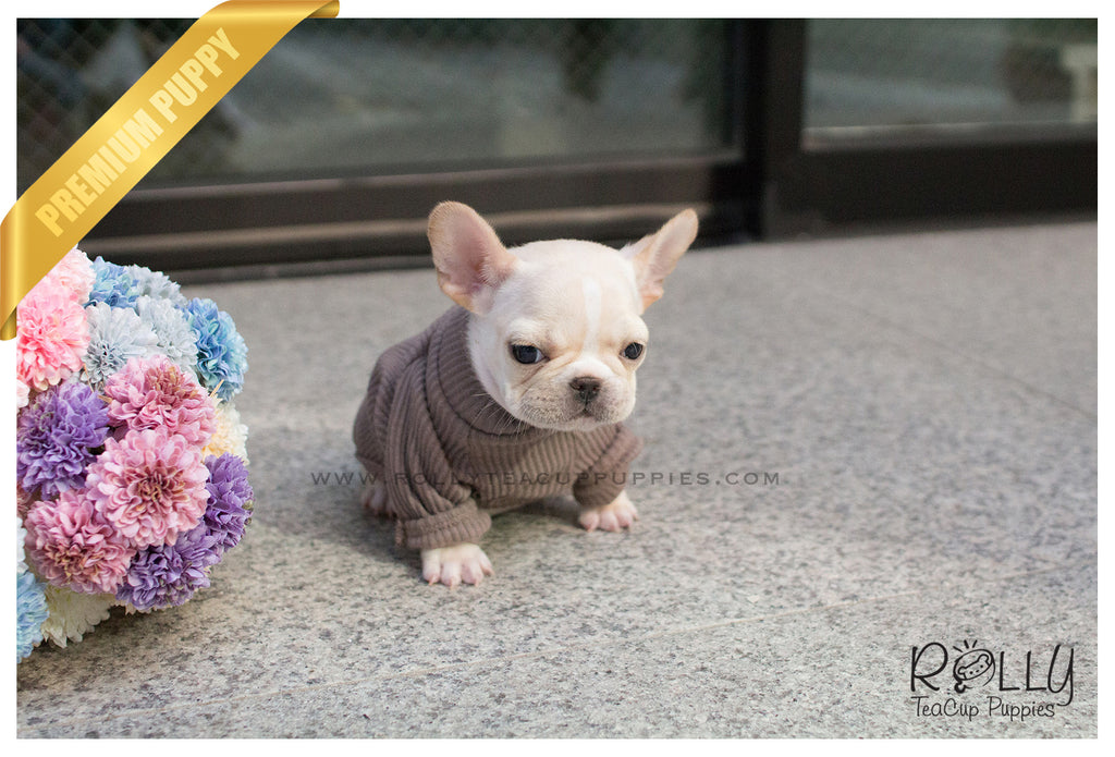 Images of Teacup French Bulldog Rescue - #rock-cafe