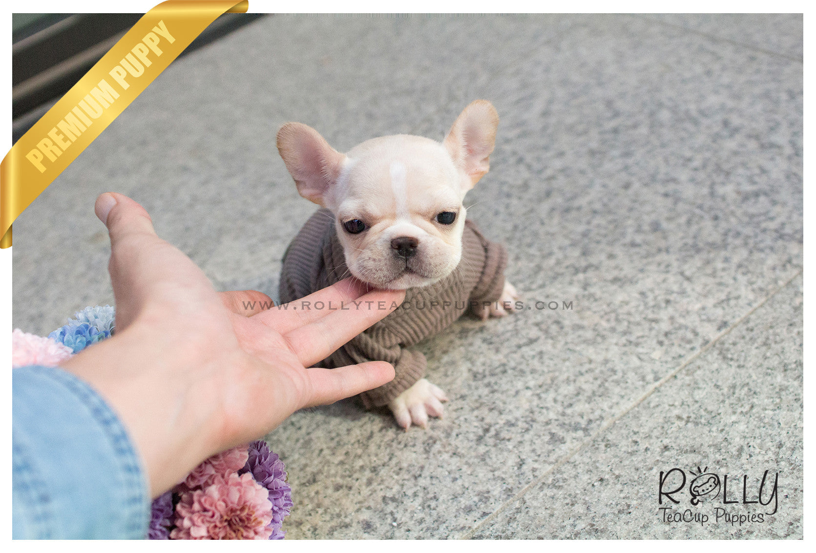 Lady Bug French Bulldog F Rolly Teacup Puppies