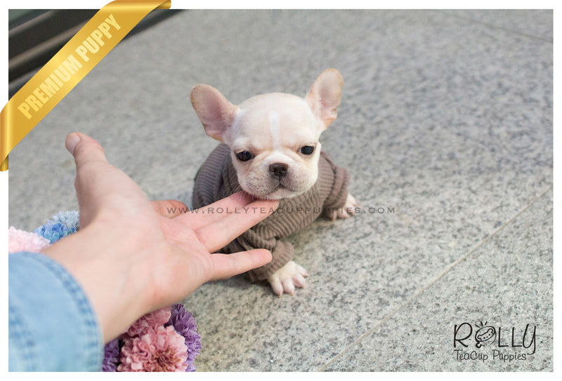 Lady Bug - French Bulldog. F - Rolly Teacup Puppies