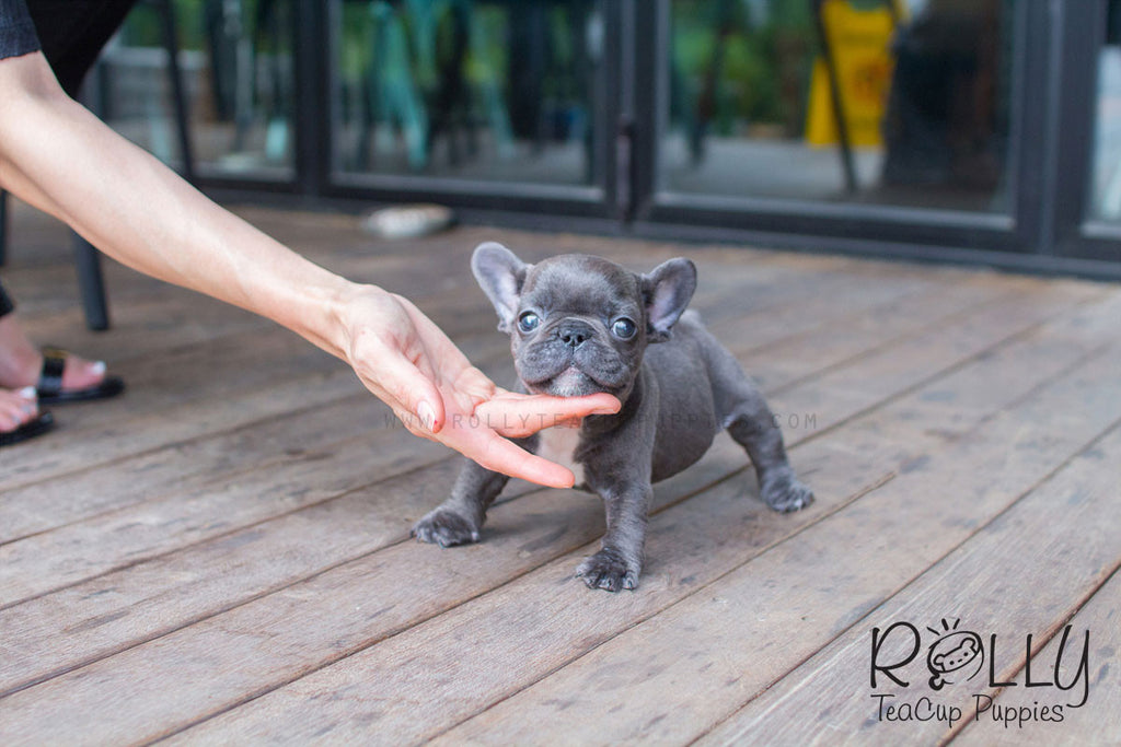 Bruno - French Bulldog - Rolly Teacup Puppies - Rolly Pups
