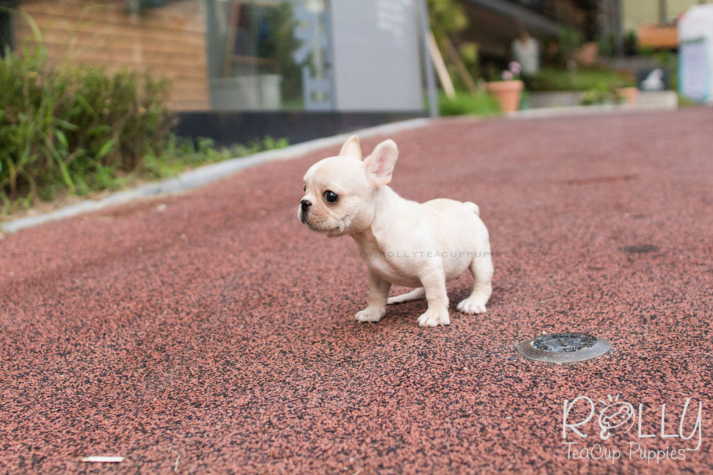 Ruben - French Bulldog. M - Rolly Teacup Puppies - Rolly Pups