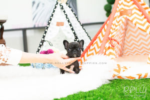 Hudson - French Bulldog - Rolly Teacup Puppies