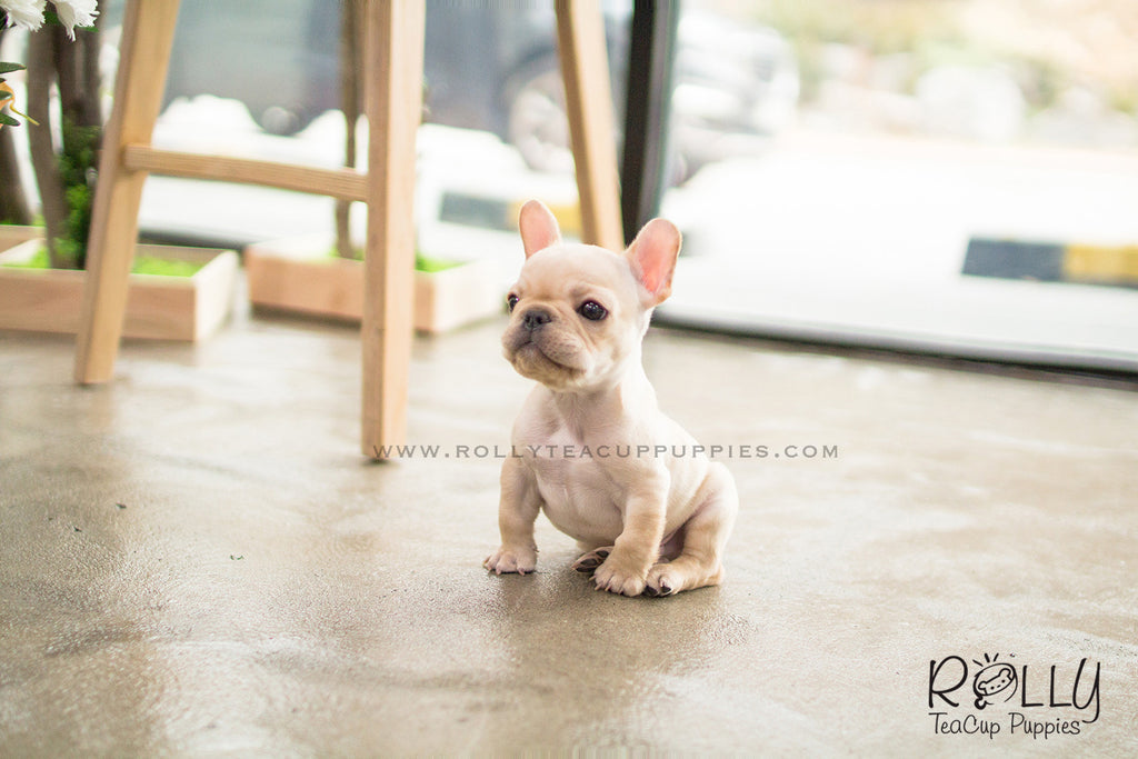 teacup french bulldog price hunter french bulldog m rolly teacup puppies 8221