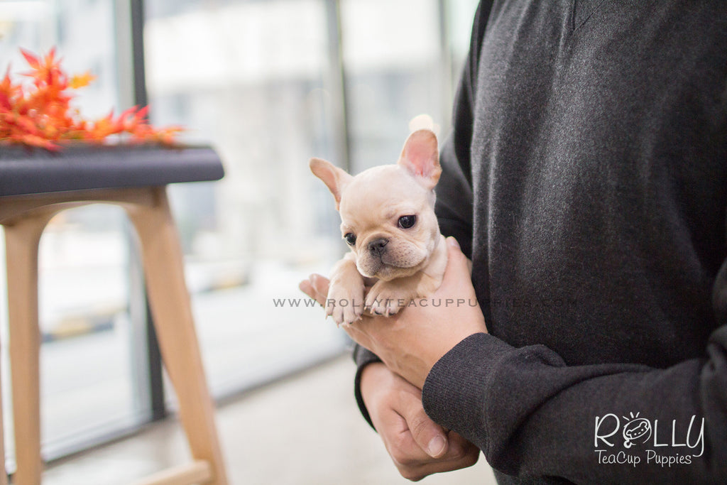 Hunter - French Bulldog. M - Rolly Teacup Puppies