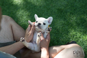 (Purchased by Nourani) Frosty - French Bulldog. M - Rolly Teacup Puppies