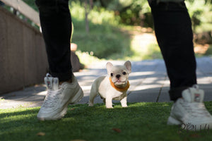 (Purchased by Nourani) Frosty - French Bulldog. M - ROLLY PUPS INC