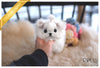 (Purchased by Kim) Frosty - Maltese. M - Rolly Teacup Puppies