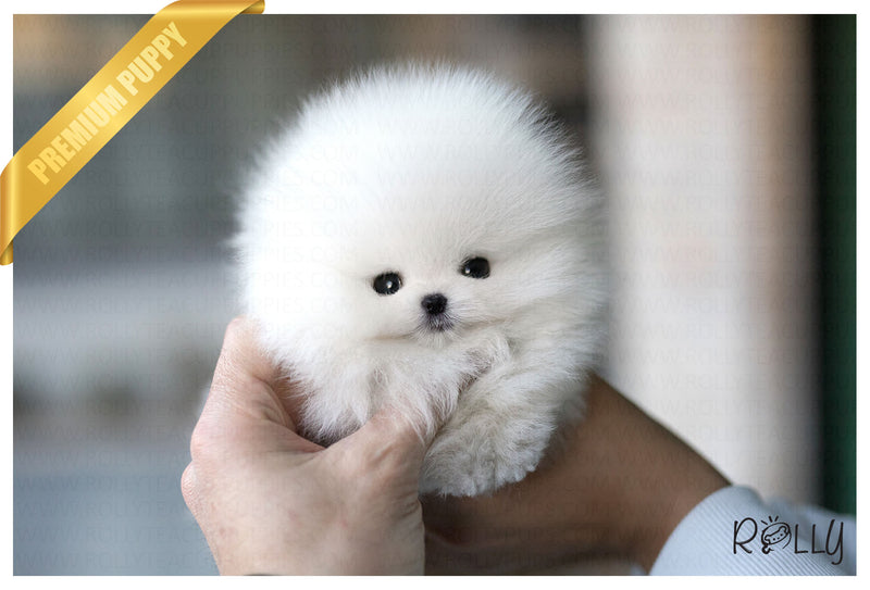 (Purchased by Price) Frosty - Pomeranian. M - Rolly Teacup Puppies