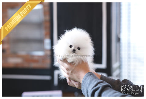 (SOLD to Kafati) Frosty - Pomeranian. M