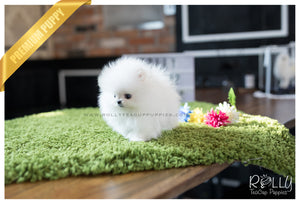 (SOLD to Kafati) Frosty - Pomeranian. M - Rolly Teacup Puppies - Rolly Pups