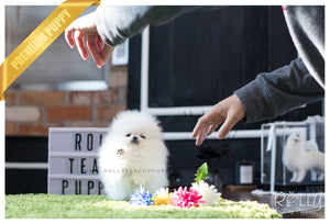 (SOLD to Kafati) Frosty - Pomeranian. M - Rolly Teacup Puppies