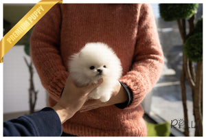 (PURCHASED by Shinichiro) FUJI - Pomeranian. M - Rolly Teacup Puppies - Rolly Pups