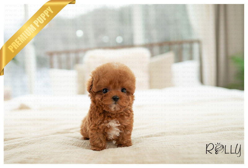 (RESERVED by Flowers) FUJI - Poodle. M - ROLLY PUPS INC