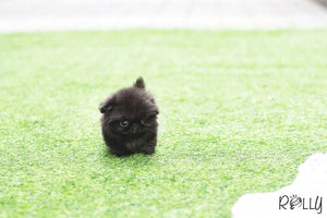 (Purchased by Augustin) Gizmo - Pekingese. M - Rolly Teacup Puppies