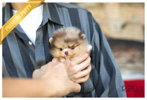 (Purchased by Alhokair) Godiva - Pomeranian. F - Rolly Teacup Puppies