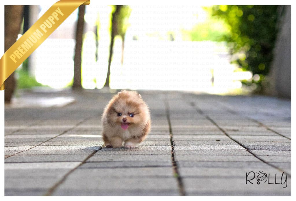 (Purchased by Alhokair) Godiva - Pomeranian. F - ROLLY PUPS INC