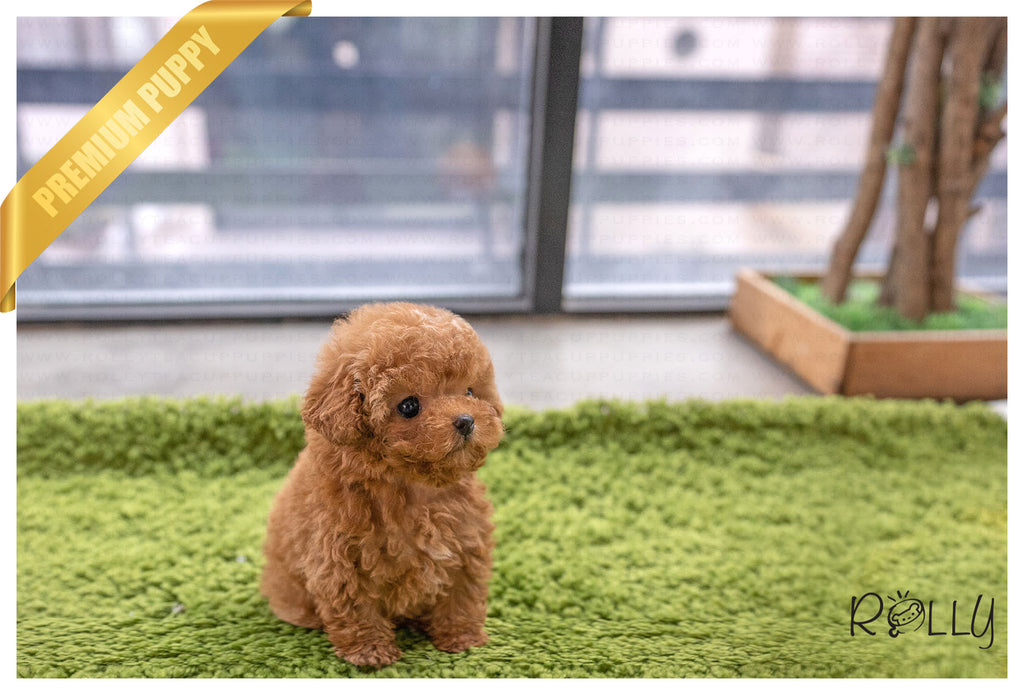 (PURCHASED by Kim) GOM - Poodle. M - Rolly Teacup Puppies - Rolly Pups