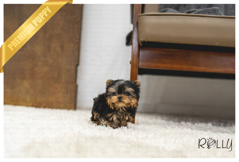 (PURCHASED by Son) GAVIN - Yorkie. M - ROLLY PUPS INC
