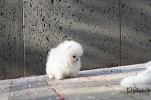 (PURCHASED By Lee) Gelato - Pomeranian. M - Rolly Teacup Puppies