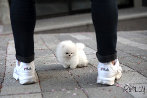 (PURCHASED By Lee) Gelato - Pomeranian. M - Rolly Teacup Puppies - Rolly Pups