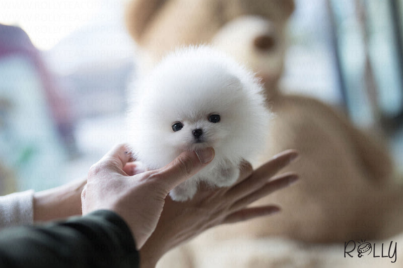 (Purchased by Aleska) Gigi - Pomeranian. F - Rolly Teacup Puppies