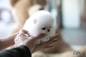 (Purchased by Aleska) Gigi - Pomeranian. F - Rolly Teacup Puppies - Rolly Pups