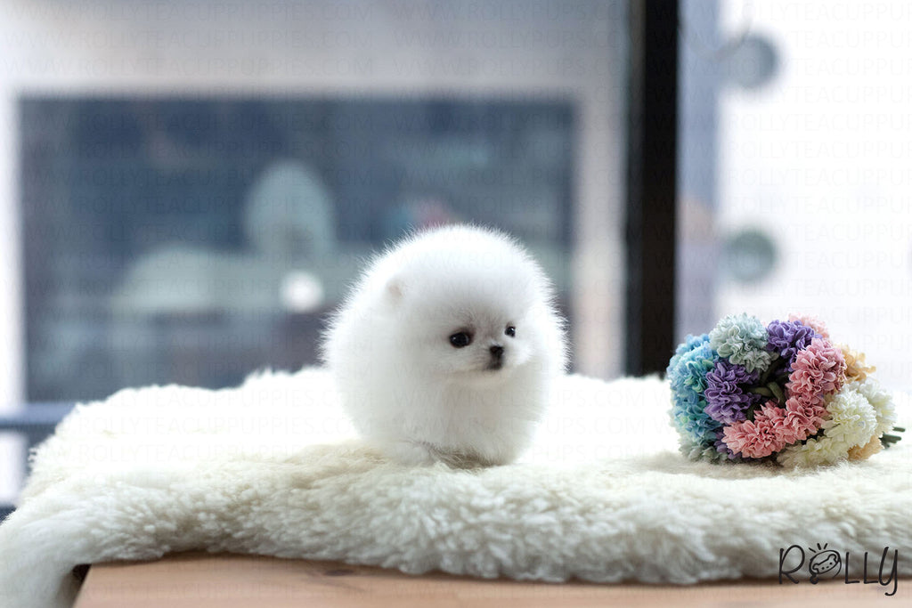 (Purchased by Aleska) Gigi - Pomeranian. F - ROLLY PUPS INC