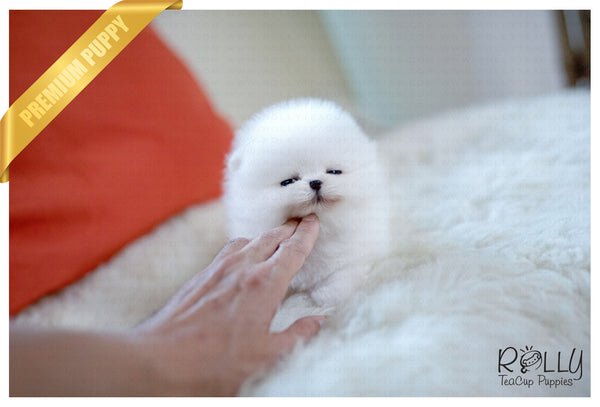 (SOLD to Danielle) Gigi - Pomeranian. F - Rolly Teacup Puppies