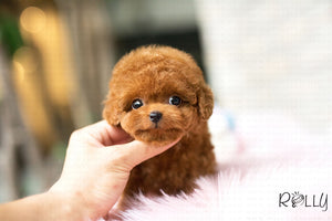 (Purchased by Kawough) Gigi - Poodle. F - ROLLY PUPS INC