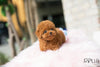 (Purchased by Kawough) Gigi - Poodle. F - Rolly Teacup Puppies - Rolly Pups