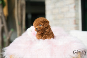 (Purchased by Kawough) Gigi - Poodle. F - Rolly Teacup Puppies